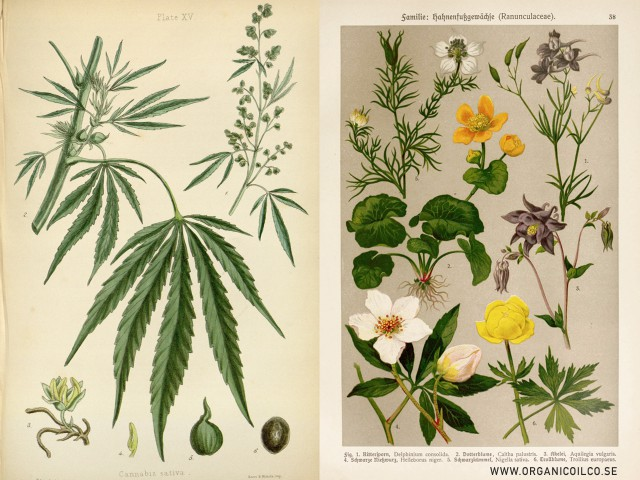 Hampa - Cannabis Sativa & Svartkummin - Nigella Sativa - The Organic Oil Co. Botanical ingredients