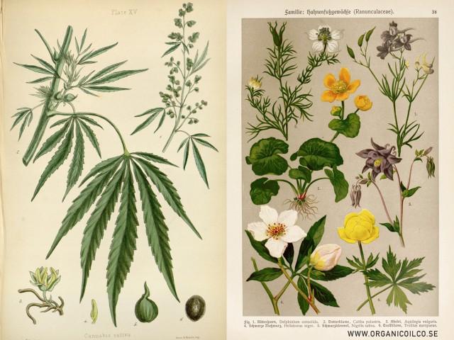 Hampa - Cannabis Sativa & Svartkummin - Nigella Sativa - The Organic Oil Co. Botanical ingredients